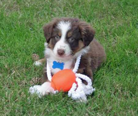 Kirby the Australian Shepherd Pictures 37039