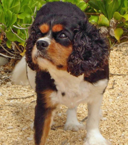 Lucky the King Charles Spaniel Pictures 341849