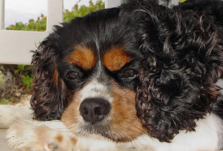 Lucky the King Charles Spaniel Pictures 341852