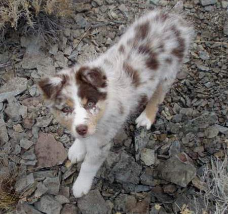 Zoey the Australian Shepherd Pictures 37721
