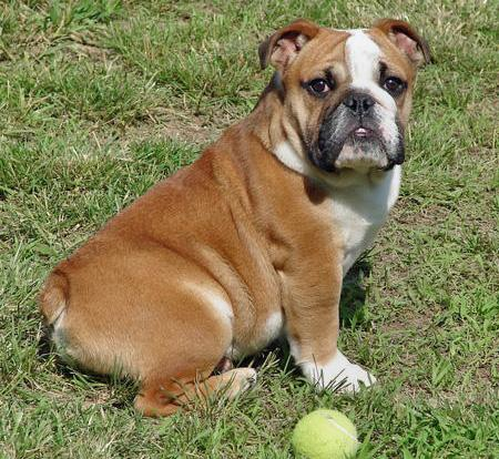 Winston the Bulldog Pictures 42502