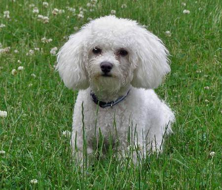 Tucker the Bichon Frise Pictures 39140