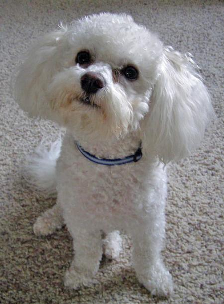 Tucker the Bichon Frise Pictures 39143