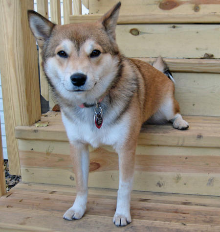Denali the Shiba Inu Mix Pictures 206761