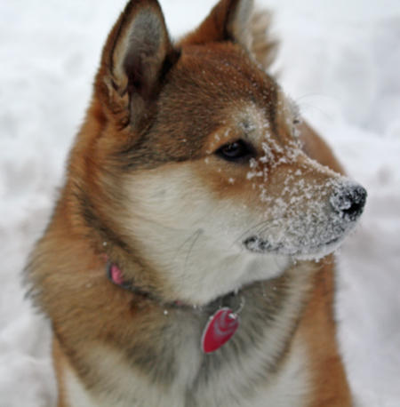 Denali the Shiba Inu Mix Pictures 206757