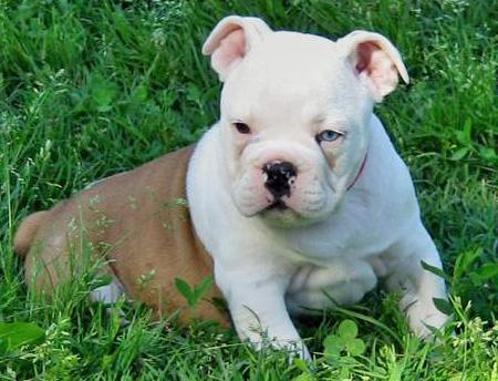Little Pig the Bulldog Pictures 39800