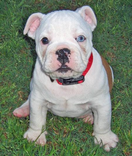 Little Pig the Bulldog Pictures 39798