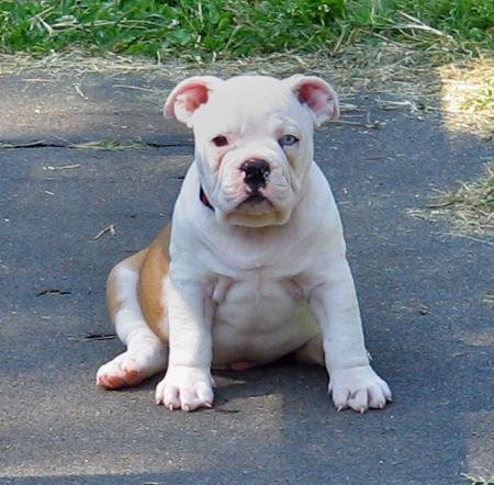 Little Pig the Bulldog Pictures 39801