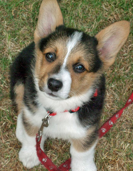Spartacus the Corgi Pictures 41605
