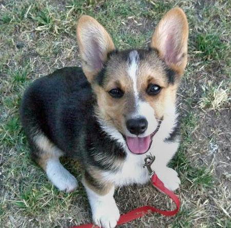 Spartacus the Corgi Pictures 41604