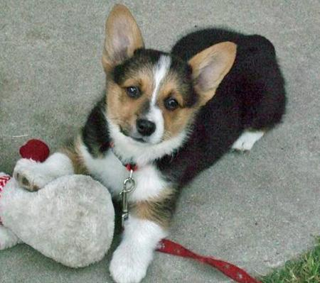 Spartacus the Corgi Pictures 41603