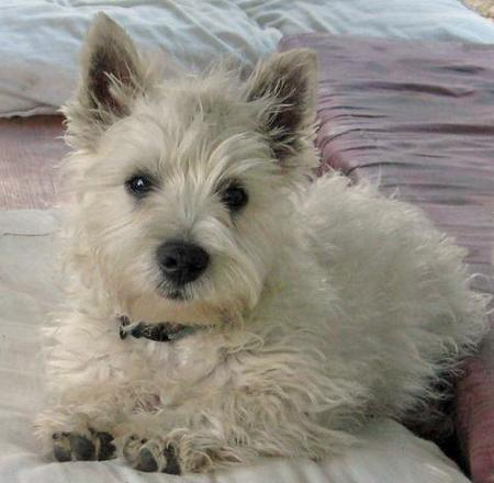 Dennis the West Highland Terrier Pictures 56442