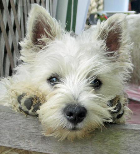 Dennis the West Highland Terrier Pictures 56441