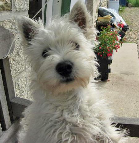 Westie Puppies on Cute Westie Puppy Pictures