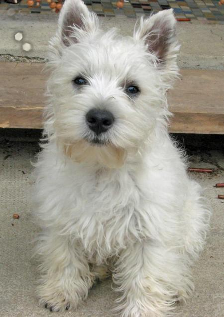 Dennis the West Highland Terrier Pictures 56438