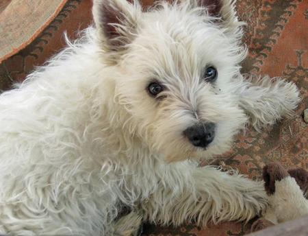 Dennis the West Highland Terrier Pictures 56449