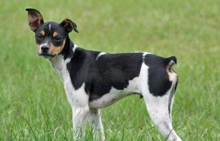 Mojo the Rat Terrier Pictures 40722