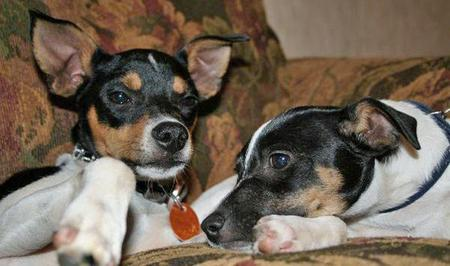 Mojo the Rat Terrier Pictures 40723