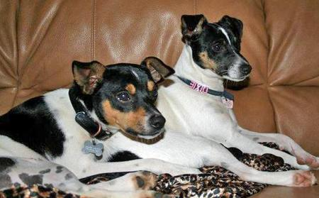 Mojo the Rat Terrier Pictures 40726