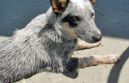 Daisy the Australian Cattle Dog Pictures 41009