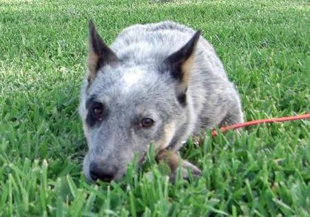Daisy the Australian Cattle Dog Pictures 41017