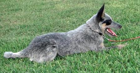 Daisy the Australian Cattle Dog Pictures 41013