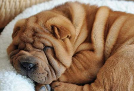 Cubby the Shar-pei Pictures 41579