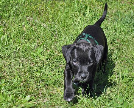 Lucy Loo the Labrador Mix Pictures 56118