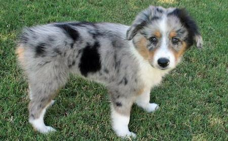 Taz the Australian Shepherd Pictures 42836