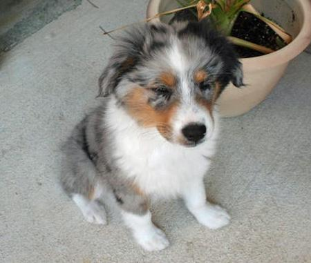 Taz the Australian Shepherd Pictures 42835