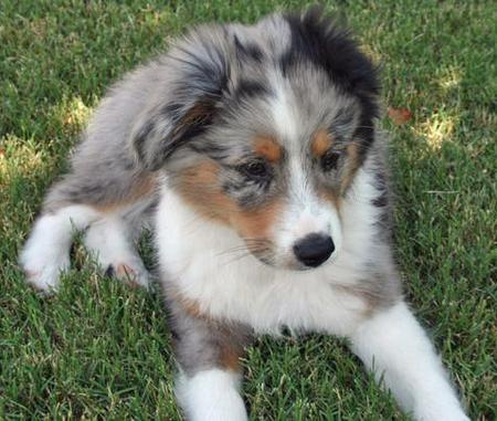 Taz the Australian Shepherd Pictures 42834