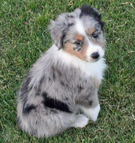 Taz the Australian Shepherd Pictures 42832