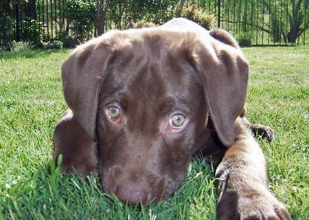 Mr. Bear the Labrador Retriever Pictures 43207