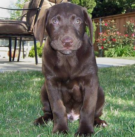 Mr. Bear the Labrador Retriever Pictures 43204