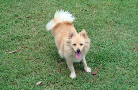 Fluffy the Pomeranian Pictures 42065