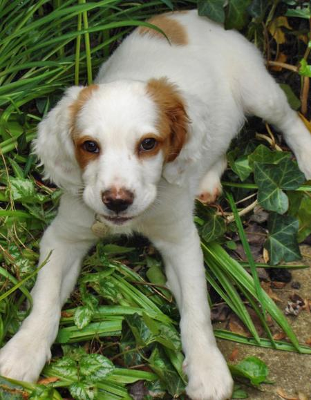 Marley the Brittany Spaniel Pictures 42135