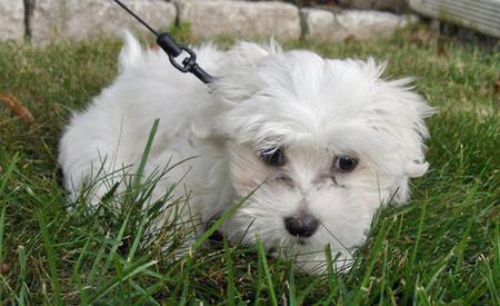 Penny the Maltese Pictures 43873