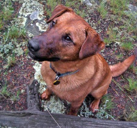 Royal the Rhodesian Ridgeback Mix Pictures 43027