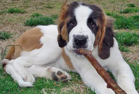 Titan the Saint Bernard Pictures 43690