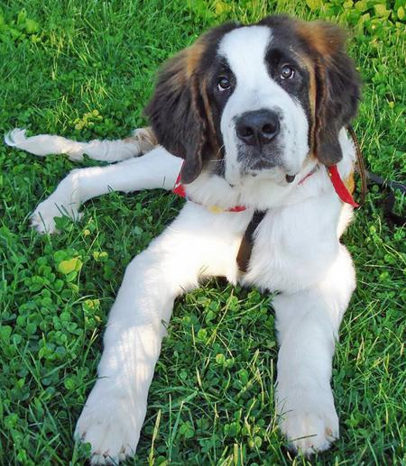 Titan the Saint Bernard Pictures 43688