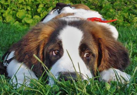 Titan the Saint Bernard Pictures 43684