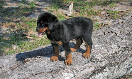 Wilson the Rottweiler Pictures 46077