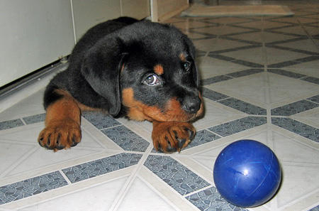 Wilson the Rottweiler Pictures 46082
