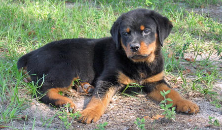 Wilson the Rottweiler Pictures 46078