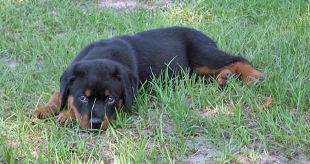 Wilson the Rottweiler Pictures 46081