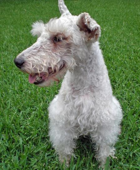 Gracie the Wire Haired Fox Terrier Pictures 47092