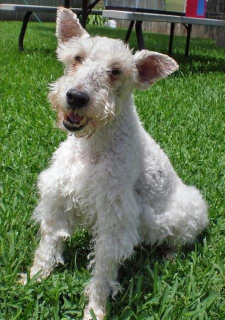 Gracie the Wire Haired Fox Terrier Pictures 47089