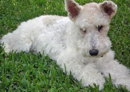 Gracie the Wire Haired Fox Terrier Pictures 47084