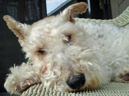 Gracie the Wire Haired Fox Terrier Pictures 47082