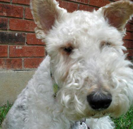 Gracie the Wire Haired Fox Terrier Pictures 47081